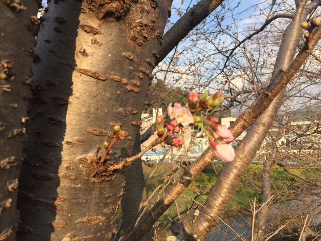 八幡浜の桜
