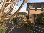 八幡浜市の桜